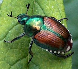 Small_beetle-japanese-beetle-popillia-japonica-mo-06